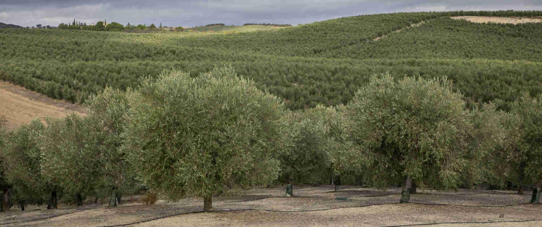Un proceso El olivar Olivos