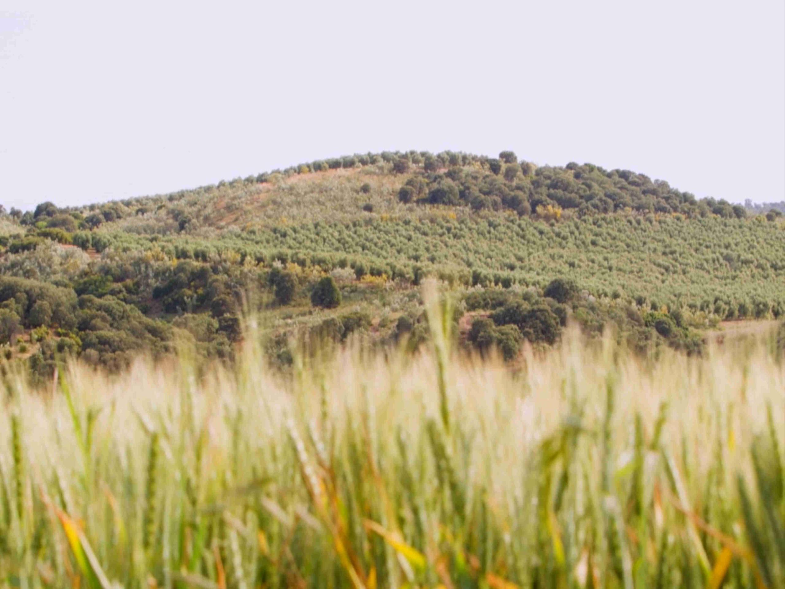 La finca Casas de Hualdo trigo y olivar
